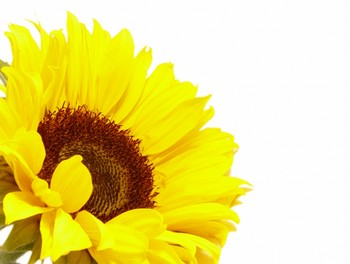 sunflower_by_jdpargeter_350.jpg