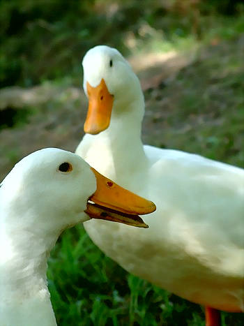 chatting_ducks_by_tinny_350o.jpg
