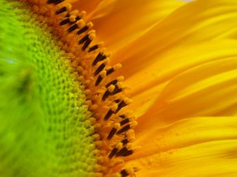 sunflower_age_2_by_sxn.jpg