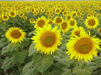 sunflower_field_by_sxn.jpg